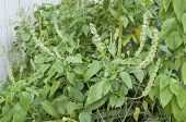 image of salvia  - Healthy green flowering Salvia hispanica chia plant growing in urban setting in Mexico City - JPG