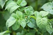 image of potato-field  - Green Leaves of young Potatoes on Farmland