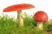 stock photo of agar  - Fly agaric mushrooms  - JPG