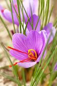 stock photo of saffron  - Close up of saffron flowers in a field - JPG