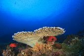 stock photo of grouper  - Table Coral and grouper fish underwater in Similans - JPG