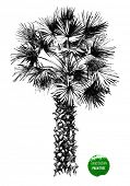 image of washingtonia  - hand drawn palm tree - JPG