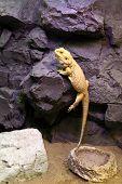 pic of terrarium  - Lizard crawling on a rock at terrarium - JPG