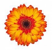 image of single flower  - Single orange gerbera flower isolated on white background - JPG