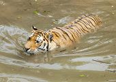 foto of white tiger cub  - tiger in water - JPG