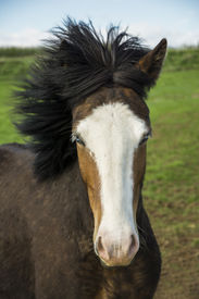 stock photo of iceland farm  - Blue eyed and serene horse.The Icelandic horse is a breed of horse developed in Iceland. ** Note: Soft Focus at 100%, best at smaller sizes - JPG