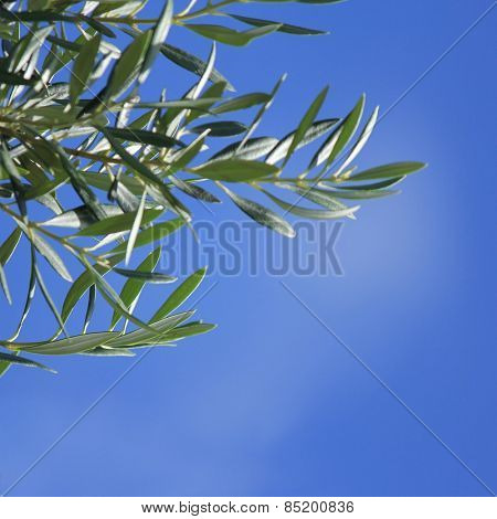 Olive Tree branch with blue sky background