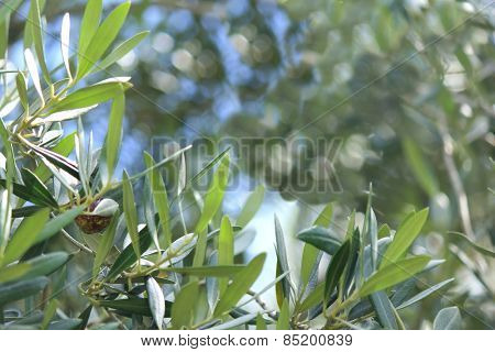 Soft focus Olive tree leaves with Blue sky background 3