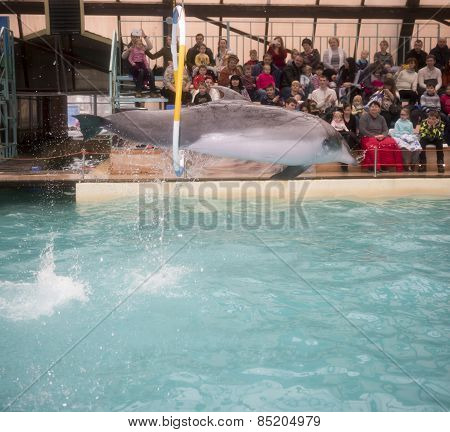 Dolphin Jumping Through Hoops At The Rostov Dolphinarium