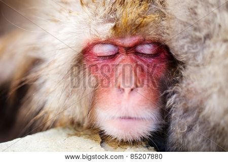 Close up of a Snow Monkey Japanese Macaques