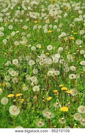 Beautiful white and yellow dandelions in grass