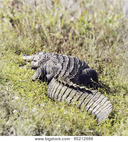 American Alligator (Alligator Mississippiensis) Basking In The Sun In  Florida Wetlands