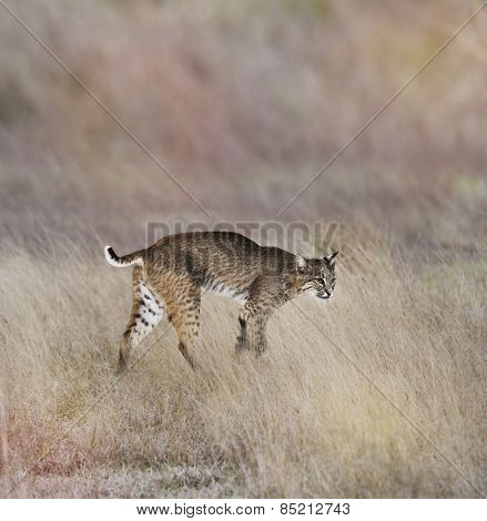 A Young Bobcat Walking In The Grass