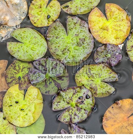 Leaves Of Water Lily Floating In The Lake