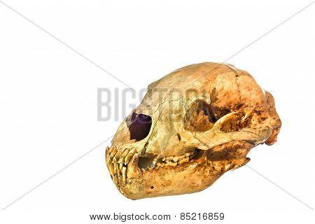 Bear Skull Isolated