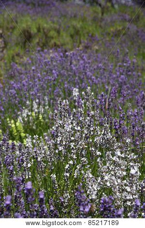 White And Purple Lavender.