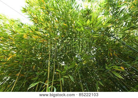Bamboo Plant From Below
