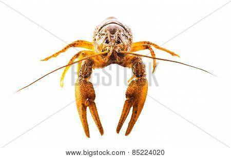 Cooked Crayfish Closeup
