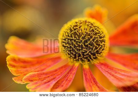 Macro Image Black Eyed Susan Summer Flower Rudbeckia Hirta