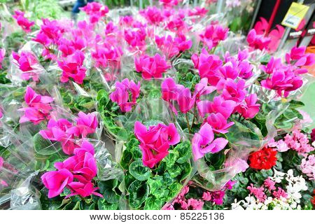 Close Up Of Pink Cyclamen Flowers With Their Ornamental Leaves Cultivated As Indoor Houseplants At A