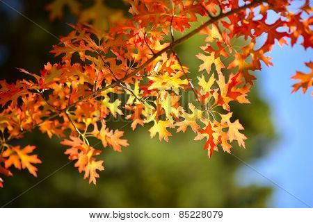 red,orange maple leaves against cloudy sky