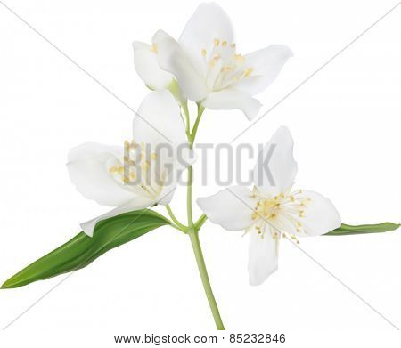 illustration with jasmin flowers isolated on white background