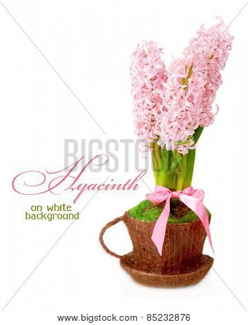 Hyacinth in a cup on a white background