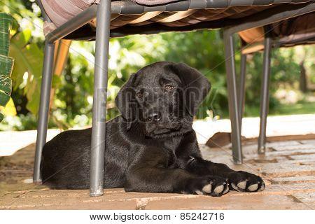 Labrador Puppy Under Chair