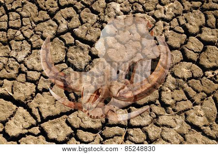 Double exposure of pig skull over cracked dried earth due to a world drought and climate change, , illustrating the effects it has on wildlife