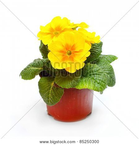 Yellow Primula in ceramic pot isolated on white background.