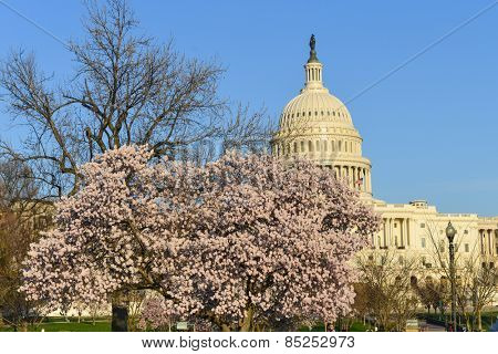 Washington DC in spring - Capitol building among blossoms