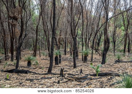 Burnt Forest Remains After Bushfire In Yanchep National Park