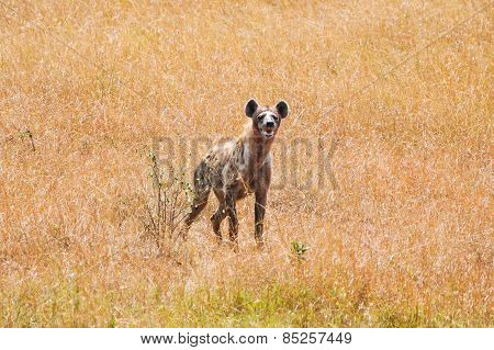 Hyena Stayned