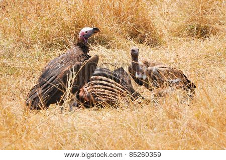 Vultures Eating
