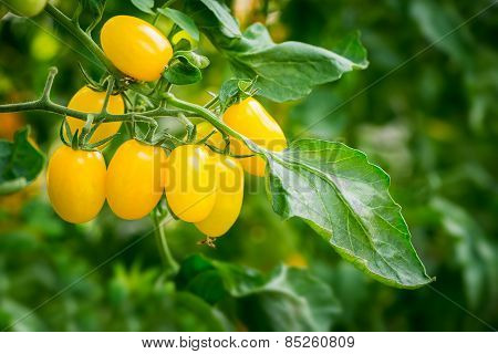 Fresh Yellow Tomato