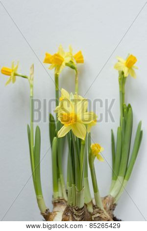 Young Shoots Of Daffodils