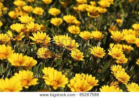 Bed Of Yellow Osteospermum Flowers