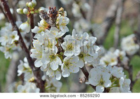 Flowers Of Plum