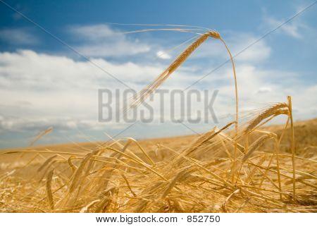 Felder von Gold 2