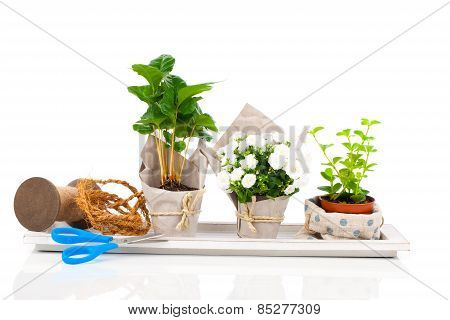 Young Plants In The Package Offered For Sale