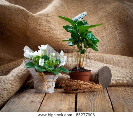 White Saintpaulias Flowers And Coffee Plant Tree In Paper Packaging In Paper Packaging