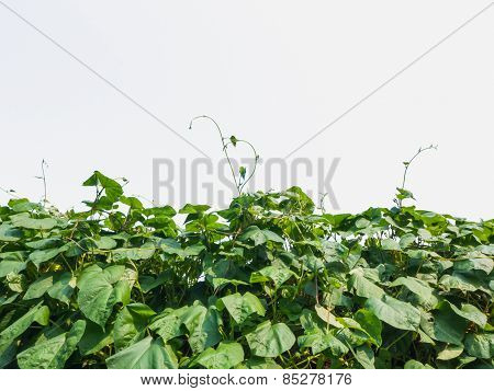 Green Leaves Climber, Pea Plant