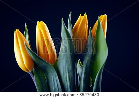 Yellow Tulips Isolated On Black Background