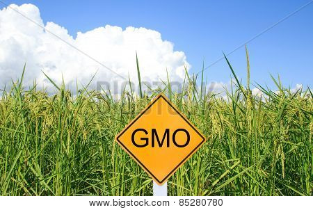Gmo Yellow Sign With The Green Paddy Rice Background