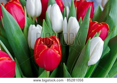 Fresh Red And White Tulips