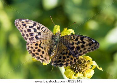 butterfly spotty