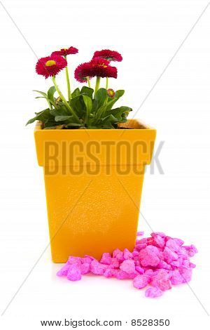 Pink Bellis In Yellow Flower Pot With Pink Stones