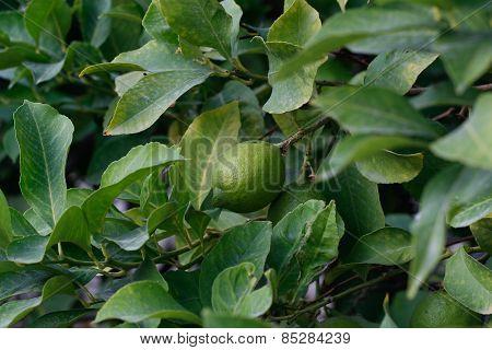 Green lemon on tree branch.