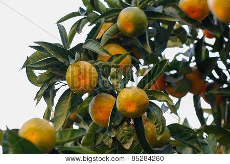 Tangerine on tree branch.