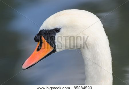 Head Profile Single Portrait Of White Graceful Swan